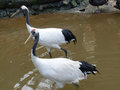 Two red crowned crane in the water Stock Images
