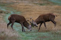 Two red deer stags fighting young during rutting Royalty Free Stock Images