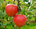 Two red delicious apples on tree hanging from a green in the summer Royalty Free Stock Photography
