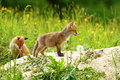 Two red fox cubs exploring the outside world near the burrow Royalty Free Stock Photo