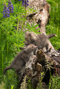 Two Red Fox Vulpes vulpes Kits Clamber About On Log Royalty Free Stock Photo