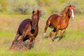 Two red horse with long mane run Royalty Free Stock Photo