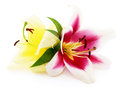 Two red lilies. Royalty Free Stock Photo