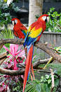 Two Red Macaws Royalty Free Stock Photography