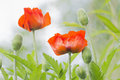 Two red poppies with buds floral background summer Royalty Free Stock Image