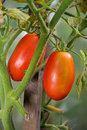 Two red ripe plum tomatoes on the Bush closeup in the greenhouse in the village of Vyritsa Sunny summer day Royalty Free Stock Photo