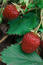 Two red strawberries in the garden Royalty Free Stock Photo