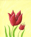 Two red tulips Royalty Free Stock Photography