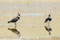 Two reflected lapwings at shallow water Royalty Free Stock Photo