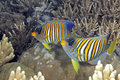 Two regal angelfish pygoplites diacanthus swimming over coral reef also known as royal uepi solomon islands solomon sea Royalty Free Stock Image