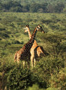 Two Reticulated giraffe Stock Photography