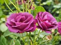 Two Rhapsody in Blue roses in full bloom Royalty Free Stock Photo