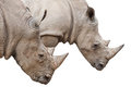 Two Rhinoceros heads on white with clipping path Royalty Free Stock Photo