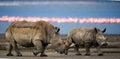 Two Rhinoceros Walking On The ...