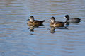 Two Ring-Necked Ducks Swimming in the Still Pond Waters Royalty Free Stock Photo