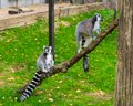 Two ring tail lemur monkeys together on a branch, one sitting and one standing, endangered tropical primates from madagascar Royalty Free Stock Photo
