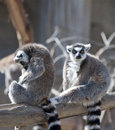 Two Ring Tailed Lemurs Stock Photography