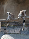 Two Ring Tailed Lemurs Royalty Free Stock Photos
