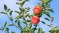 Two ripe apples in orchard Stock Image