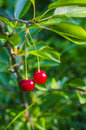 Two ripe cherries on a branch Royalty Free Stock Photo