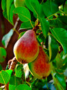 Two ripe pears Royalty Free Stock Photos