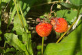 Two ripe tasty raspberries grows closeup red appetizing strawberries in grass in summer day Royalty Free Stock Photos