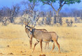 Two Roan Antelopes on the Hwange Plains Royalty Free Stock Photo