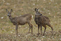 Two roe deer does in a field one is urinating Stock Images
