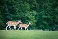 Two roe deers on a meadow Stock Photography