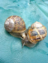 Two Roman snails Royalty Free Stock Photos