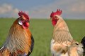 Two roosters against each other on field beautiful Royalty Free Stock Images