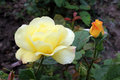 Two Rose yello Royalty Free Stock Photo