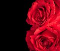 Two roses on black background, valentine day and love concept Royalty Free Stock Photo