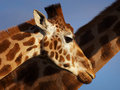 Two Rothschild Giraffes Stock Photography