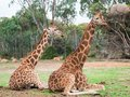 Two Rothschilds giraffes sitting in rest on a grassy plain Royalty Free Stock Photo