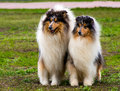 Two rough сollies seats the collie on the grass in the park Royalty Free Stock Photo