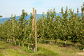 Two rows of apple trees in an orchard Royalty Free Stock Images