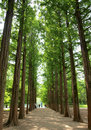 Two rows of trees at nami island Royalty Free Stock Photo