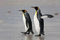 Two royal penguin flapping its wings go to the sandy shores of the ocean in the falkland islands Stock Photos