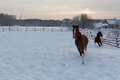 Two running horses in snow field Royalty Free Stock Photo