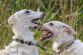 Two russian hound dogs Stock Photos