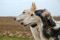 Two russian wolfhounds Royalty Free Stock Photo