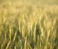 Two rye ears macro of ripe over cereal field background shallow dof Royalty Free Stock Photo