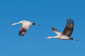 Two sandhill cranes in flight migratory crane birds on a blue sky background Stock Photo