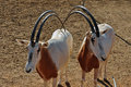 Two scimitar horned oryx antelopes Royalty Free Stock Photo