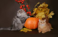 Two Scottish cat with autumn leaves Royalty Free Stock Photo