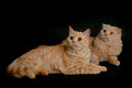 Two scottish cats Royalty Free Stock Photography