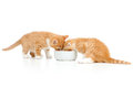 Two Scottish kittens lap milk from bowl Stock Photography