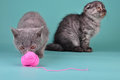 Two scottish straight fold kittens playing studio shot Stock Photography