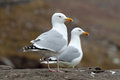 Two Sea gull on the rock Royalty Free Stock Photos